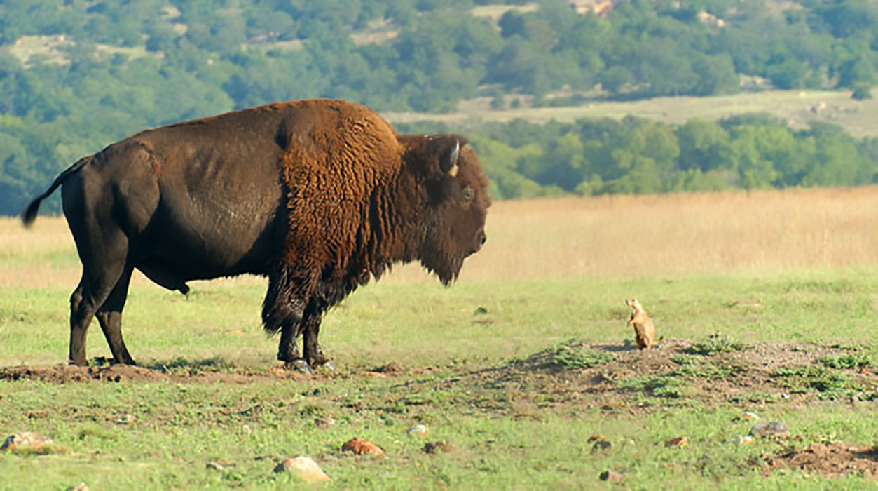 Bison And Prairie Dog in 004